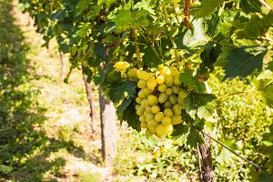 White grapevine close up