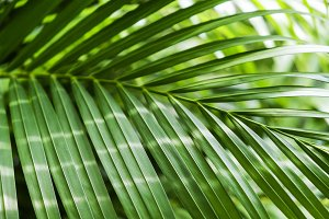 Green yellow palm leaves