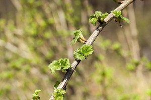 branch of gooseberry