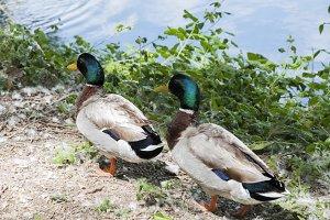 Lake full of ducks