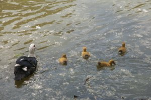 ducklings with their mom