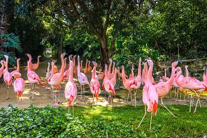 Pink flamingos. Exotic