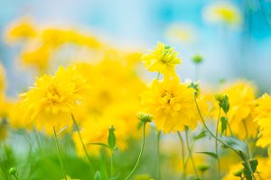 Beautiful yellow flowers with a very soft focus on the background of the cyan sky. Artistic image, natural floral background with bright colors. Selective focus.