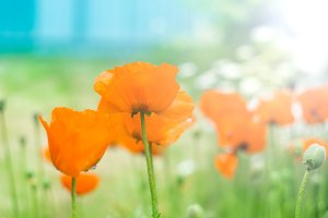 Bright orange poppies against the blue sky in sunlight, soft focus, selective focus, pastel colors. Summer natural background.