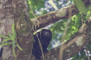 Howler monkey on a branch