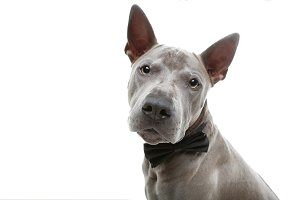 beautiful thai ridgeback dog in bow tie