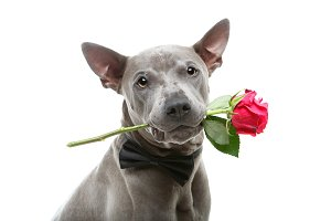 dog in bowtie holding rose in mouth