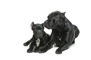 beautiful cane corso puppy and dog