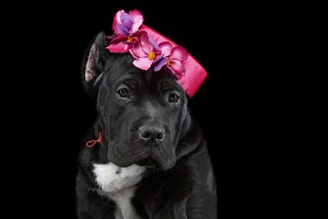 beautiful cane corso puppy in hat