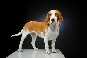 beautiful beagle dog