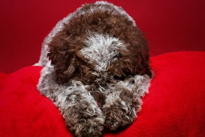 beautiful brown fluffy puppy
