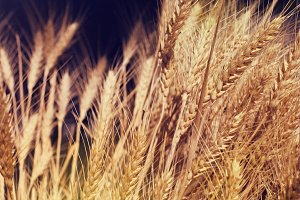 Yellow wheat in nature.