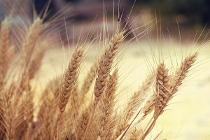 Yellow wheat in nature.