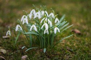 Galanthus nivalis in spring