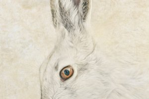 Jackrabbit portrait