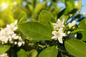 Branches of a blossoming orange tree