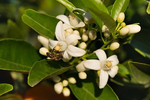 Bee on white flowers of orange tree.