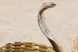 Cobra in the basket