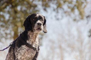 Hunting dog portrait