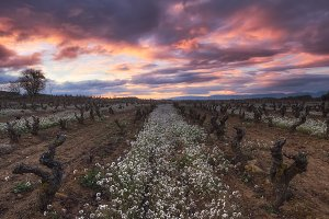 Sunrise in a vineyard in winter