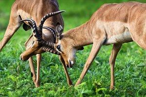 Impala territorial fight