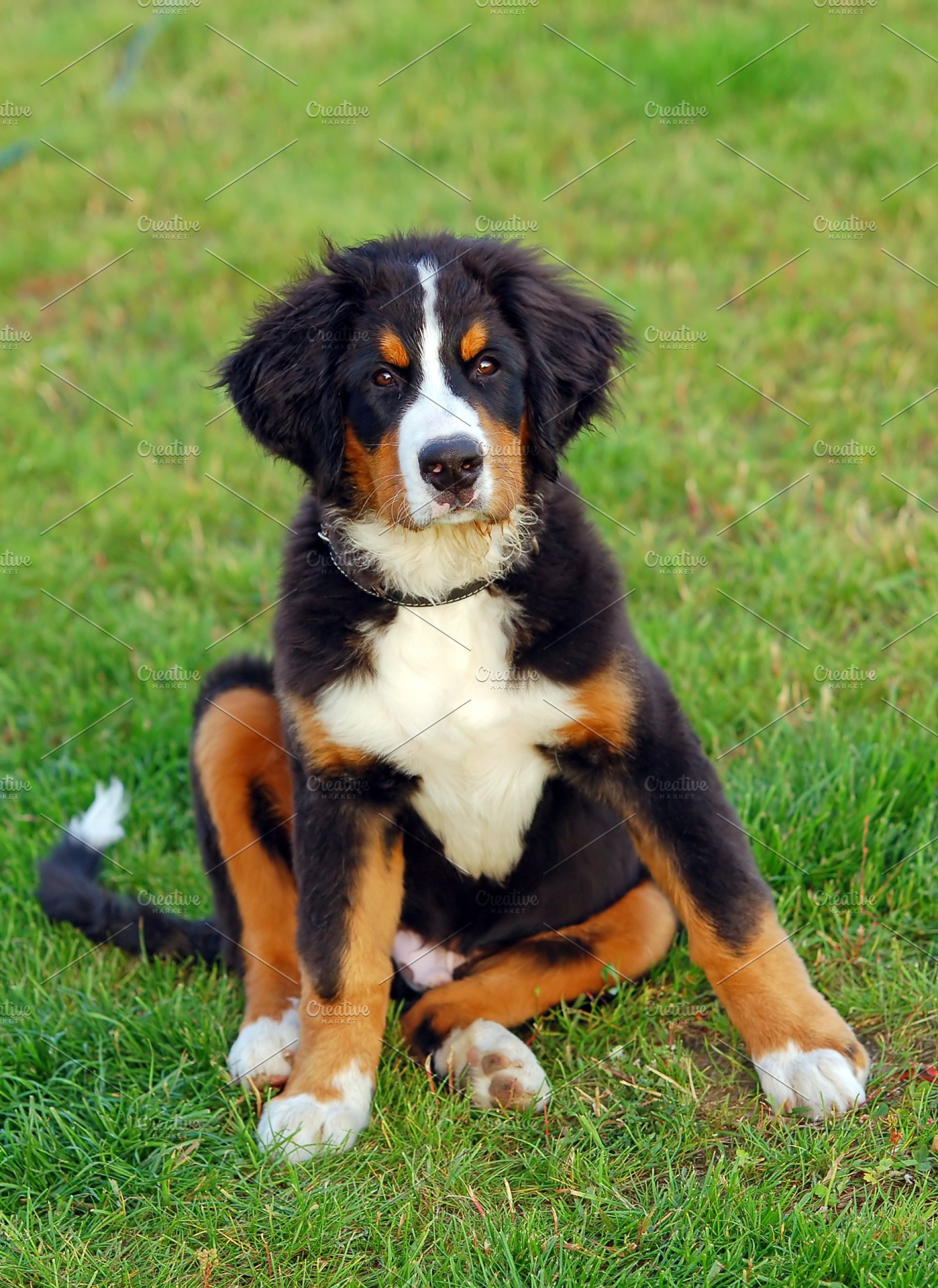 Puppy Bernese Mountain Dog For Sale In Northern Territory Australia