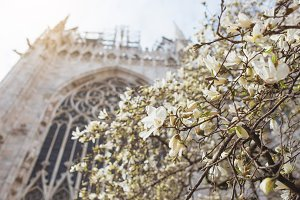 White magnolia flowers.
