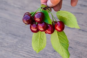 Berries of a sweet cherry in a hand on a branch with leaves. Ripe red sweet cherry