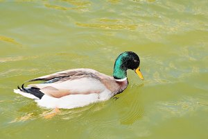Mallard duck floating