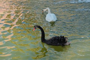 Black swan and white swan floating