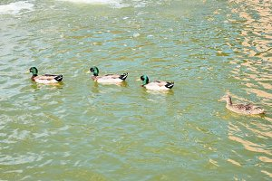 Mallard ducks floating