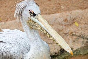 Pelikan head
