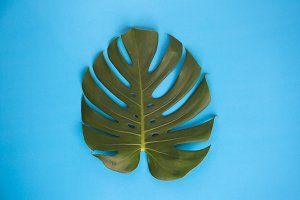 Monstera leaves isolated in creative vibrant blue plain background