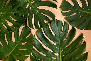 Monstera leaves decorated over creative nude beige pastel  background