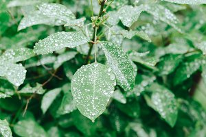 Drops of dew on green leaves
