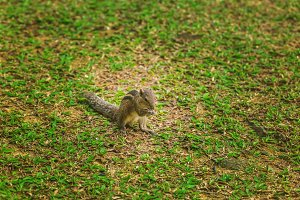 Small chipmunk on the green lawn