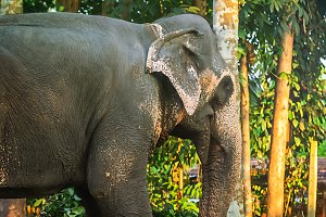 Elephant in the elephant farm