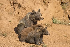 Bear with her two cubs
