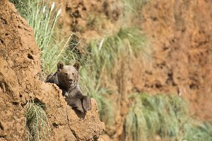 Big brown bear resting on the top of a cliff