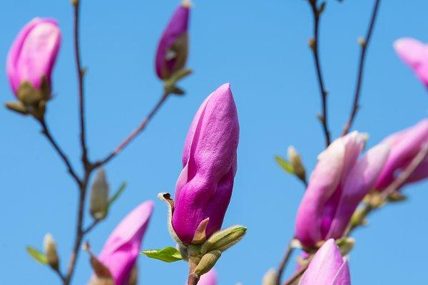 Rose magnolia flower bud