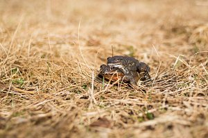 Pair of Far Eastern toads