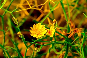 Yellow field flower. Spring mood