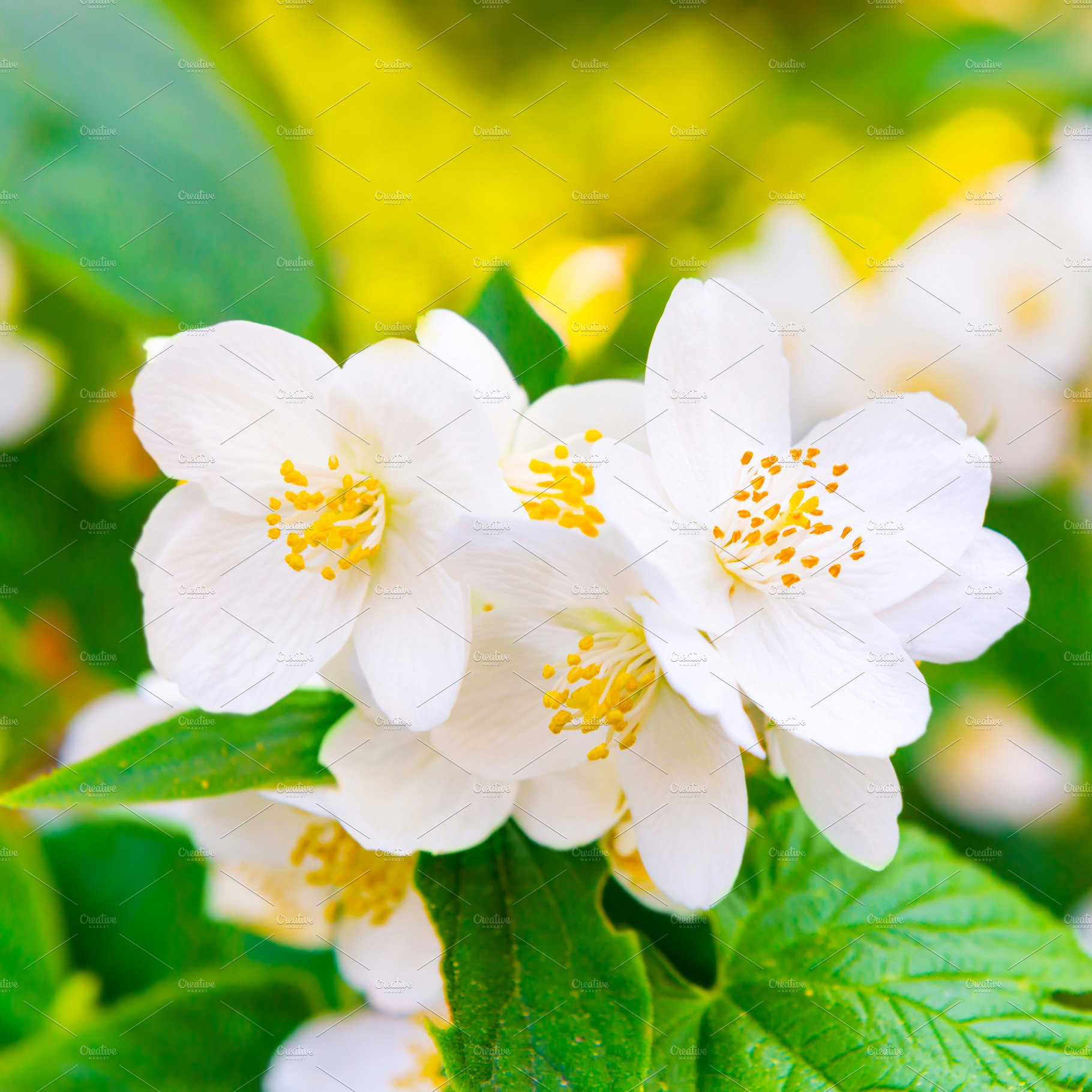 White Jasmine Flowers Nature Photos Creative Market