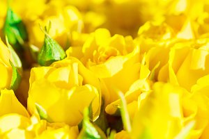 Fresh yellow roses with green leaves