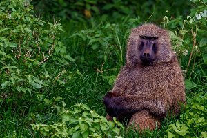 Olive Baboon sitting