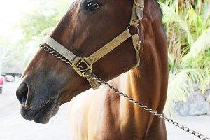 Puerto Rico Horse