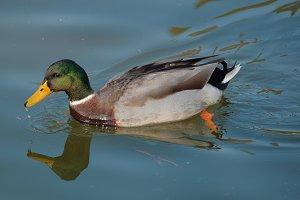 Mallard on water