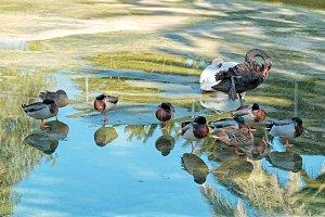 Several ducks