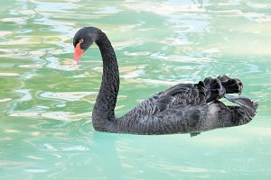 Black swan floating