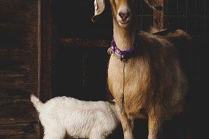 Momma Goat